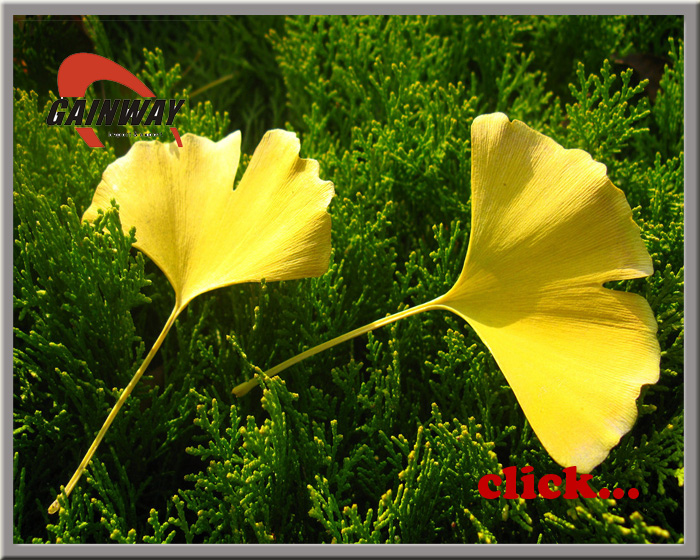 Ginkgo Extract-Ginkgo Flavonglycosides NLT 24%