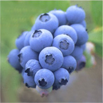 Blueberry Extract-Anthocyanidin
