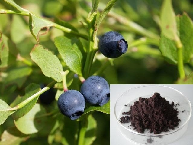 Bilberry Extract-Anthocyanidin