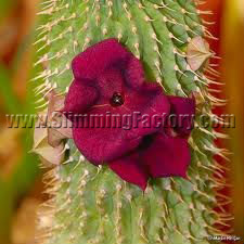 P57 Hoodia Cactus Slimming Capsule, Magical South African Plant