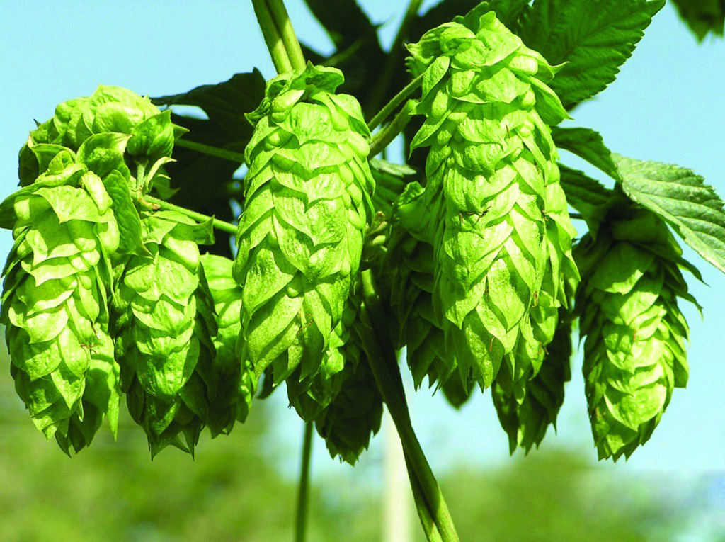 malt , hops , beer btylki