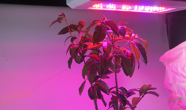 50000H, high efficiency, 180W,3200LM,120degree,60pcs LED, LED grow light fixture