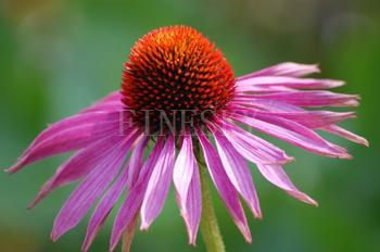 Echinacea purpurea extract with polyphenol 4% for medicine