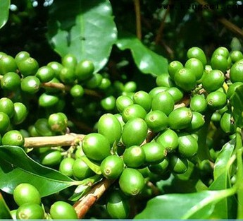 Green coffee bean extract by Finesky