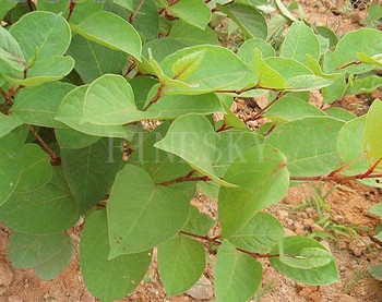 Polygonum cuspidatum extract by Finesky