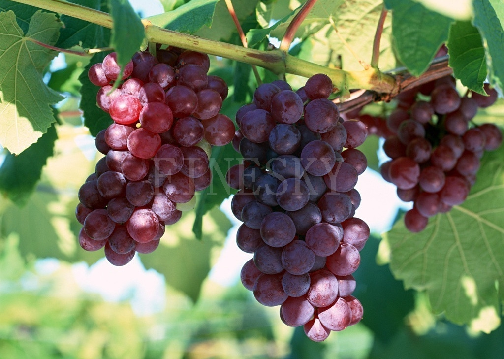 Grape seed extract healthy nutrition supplement