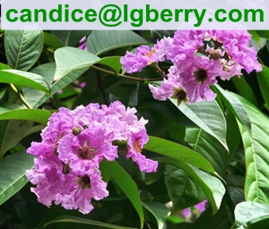 100% Natural Banaba Leaf Extract Corosolic acid for nutritional supplement