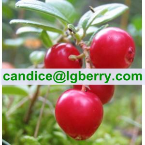 Wild Lingonberry Proanthocyanidins /OPC/lingonberry extract