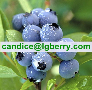 Food supplement organic blueberry powder