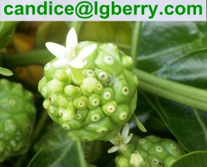 Natural Noni fruit extract/Morinda citrifolia extract powder(10 years factory)