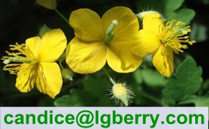Gmp factory supplier of Celandine Extract Chelidonine