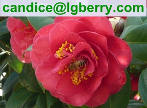 High Quality Pure Camellia Bee Pollen