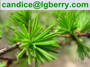 Water Soluble Pine needle protein 80%