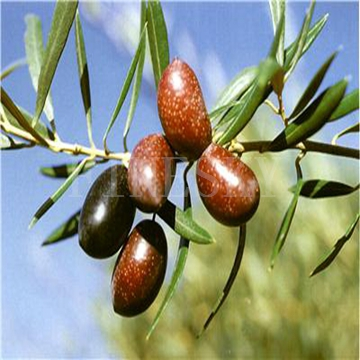 Olive leaf extract as dietary supplementation by Finesky