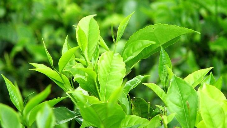 Natural herbal green tea extract