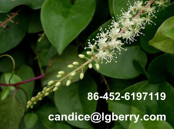 Pure natural wild basella alba extract