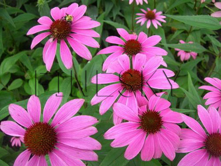 Echinacea purpurea extract powder for ailments treatment