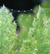 red spider mite chemical control Spider Mite Chemical