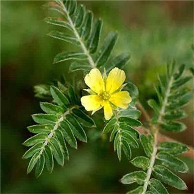 Tribulus Terrestris Extracts