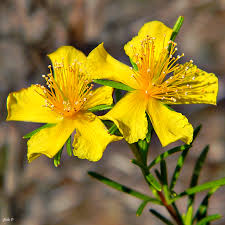 St.John's Wort Extracts