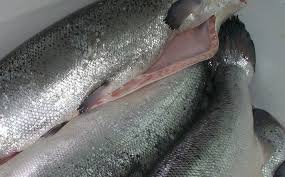 FROZEN MACKEREL / SALMON / COD FISH / FROZEN FISH