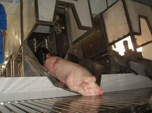 pig slaughter and abattoir equipment