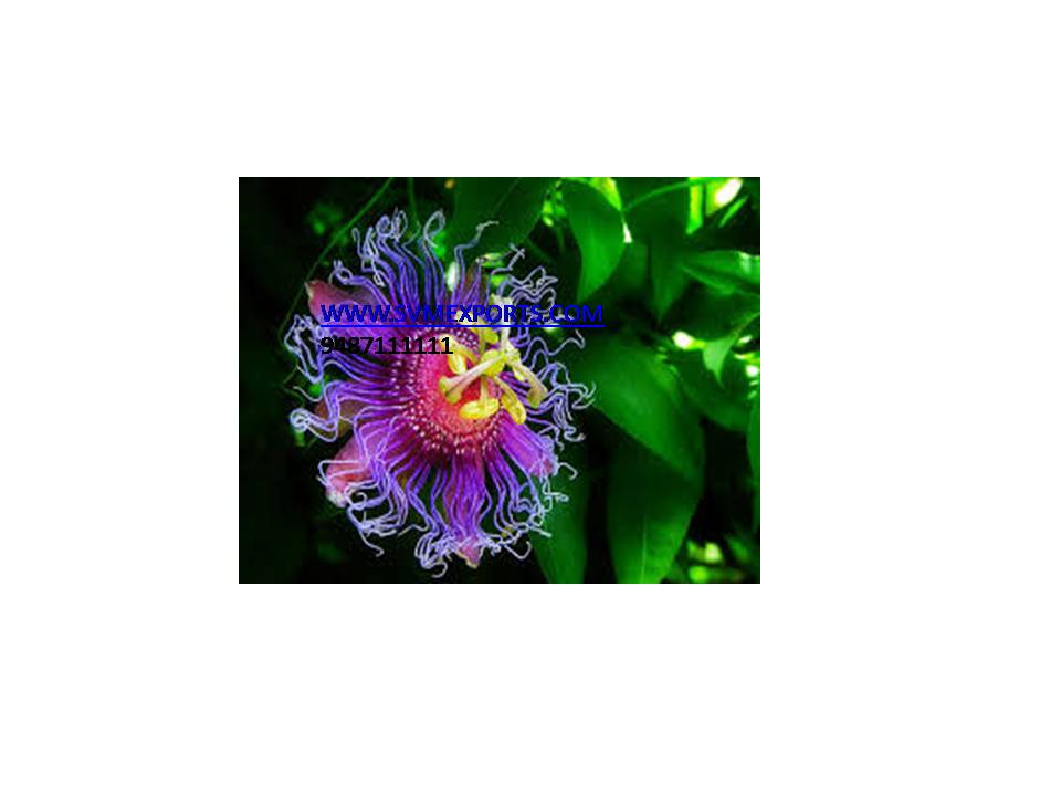 Passiflora Incarnata Suppliers India