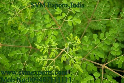 Moringa Leaves Suppliers India
