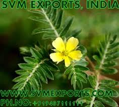 Tribulus Terrestris Suppliers India