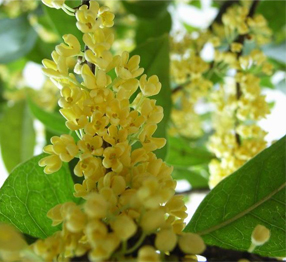 Osmanthus Absolute