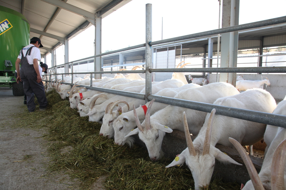GOATS- Excellent Quality standard size milking goats For Sale
