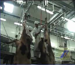 Cattle slaughter and abattoir machine