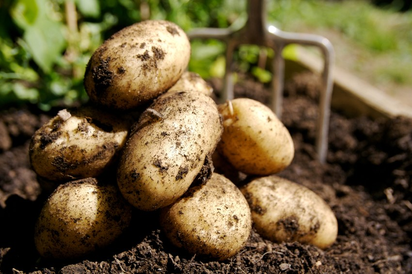 Best quality fresh potatoes,  competitive market price