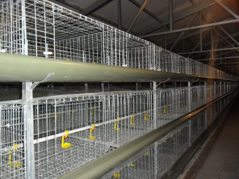 H Type Cages for Growing Broilers