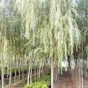White Willow Bark P.E. Salicin Powder
