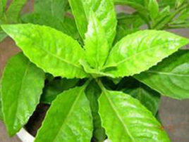 Ashitaba Leaf Extract