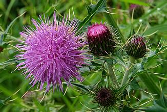 Milk Thistle Extract Silymarin