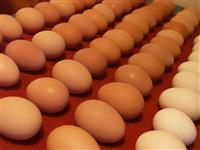 Chicken Broiler Hatching(Ross/Cobb) & Table Eggs Grade A