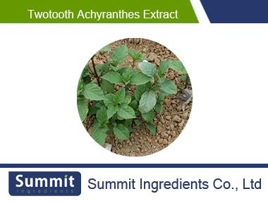 Twotooth achyranthes extract 10:1,radix achyranthis bidentatae,Achyranthes bidentata,Twotooth Root