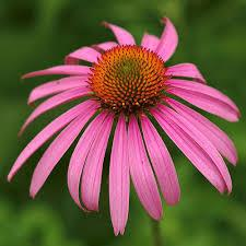 Echinacea Purpurea Extract, Factory Supply High Quality Pure Natural Green Medicinal Echinacea Purpurea Extract, Prevent Osteoporosis