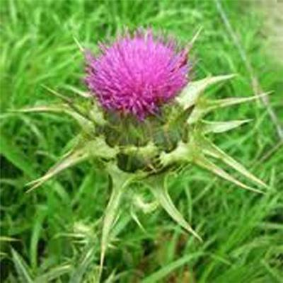 Milk Thistle Extract, Top Quality Pure Natural Green Medicinal Milk Thistle Extract, Protect Liver Cell Membrane