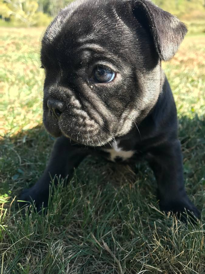 French Bulldog Puppies $450 usd