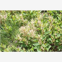 Polygonum Cuspidatum the basic has good market prospects in