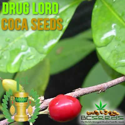 how to buy coca seeds