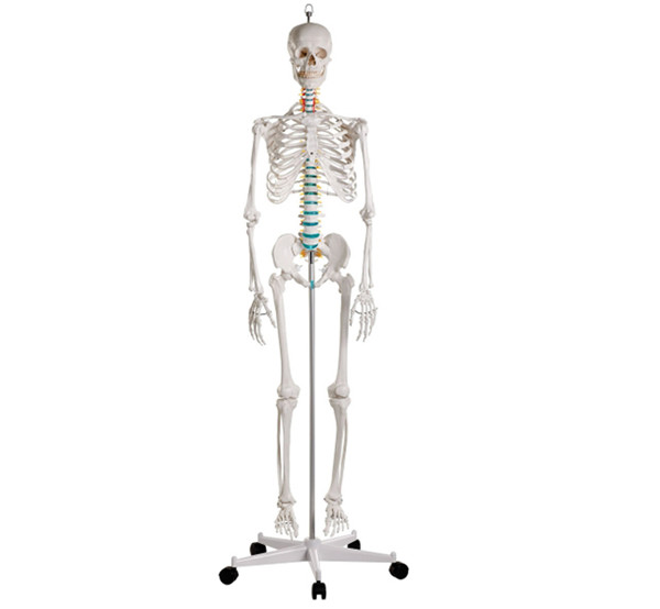Advanced PVC Human Skeleton bone specimen anatomical  Model 180cm Tall