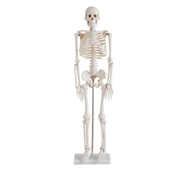 Advanced PVC Human Skeleton bone specimen anatomical  Model 85cm Tall