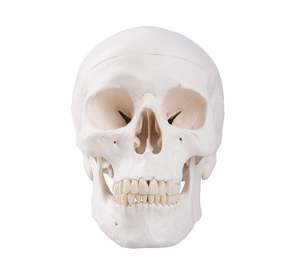 Life Size Adult Human Skull bone skeleton anatomical medical training eductional  Model