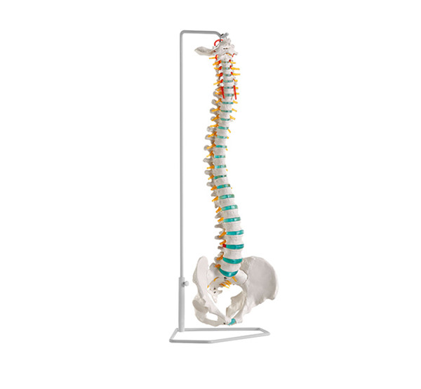 Life Size Flexible Vertebral Column Spine bone oppitical anatomical skeleton Model
