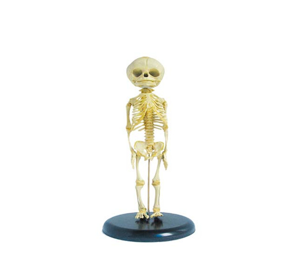 Advanced PVC Fetus Skeleton bone anatomical children skeleton human skeleton Medical Model
