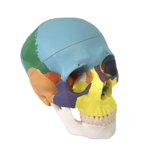 Life Size PVC Human Colored Skull bone skeleton anatomical  Model 22 Parts